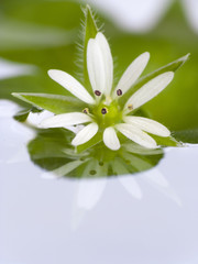 Flower reflecting from water