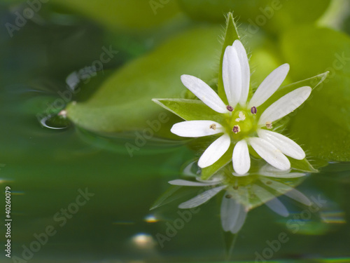 White flower in water