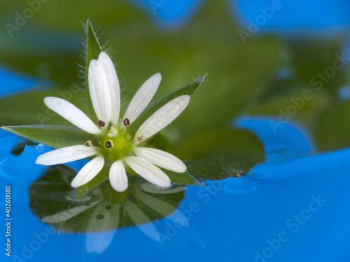 White flower in blue water
