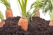 Studioaufnahme - Gemüseanbau ( Karotten ) im heimischen Garten