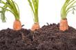 Gemüseanbau ( Karotten ) im heimischen Garten
