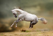 silver-white stallion playing