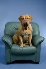 Dog on the arm chair