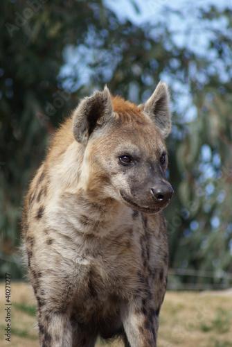 Papiers peints Hyène Spotted (laughing) Hyena - Crocuta crocuta