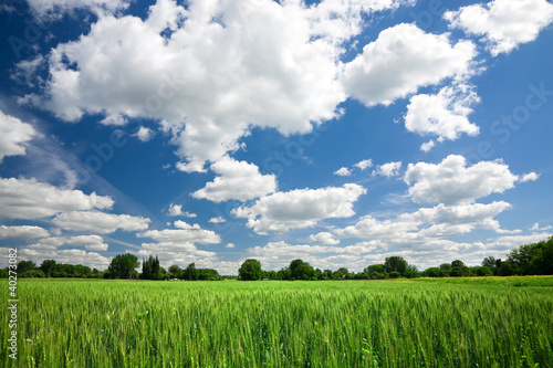 Green wheat field on blue sky background