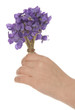 children hand with bouquet of violets for mother