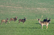 european mouflon and fallow deer