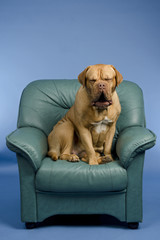 Dog on a armchair yawning