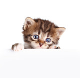 Kitten banner isolated on white