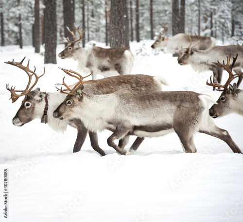 Fototapeten,tier,geweih,artic,caribou