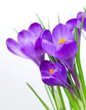 Fototapety Crocus Spring Flower