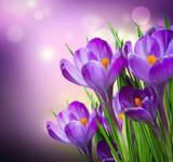 Fototapety Crocus Spring Flowers