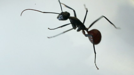 Black ant crawling against white background