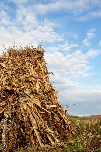 Amish Harvested Corn