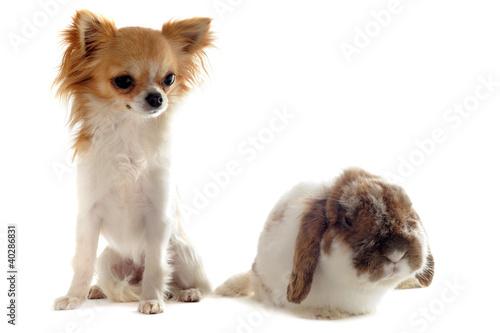 chihuahua et lapin bélier nain