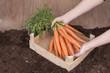 Gemüseernte ( Karotten ) im heimischen Garten