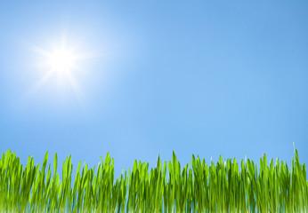 grass growth on sky blue with sun