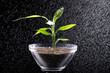 Junge Pflanze in Schale im Sprüh Regen