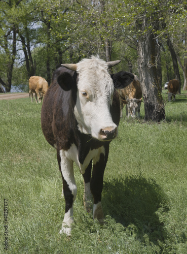 A cow grazing in a forest