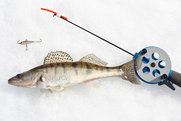 Ice fishing. Zander