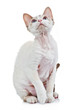 Devon rex cat close-up portrait