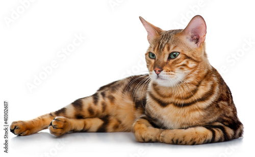lovely cat isolated on white