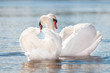 couple of swans in love on water