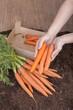 frisches Gemüse -  Karottenernte