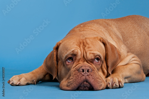 Dogue De Bordeaux lying against blue background