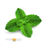 Vector fresh mint leaves on a white background