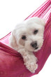 Cute maltese terrier puppy dog pet
