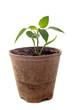 plant de poivron