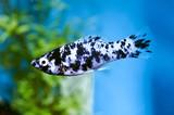 Fototapety molly dalmatien dans aquarium