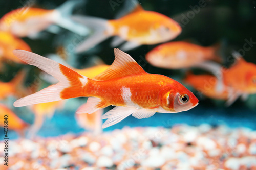 poisson rouge - 40316840