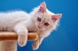 Sibirische Waldkatze - Kitten