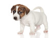 Jack Russell Terrier puppy 1 month old