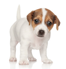 Jack Russell puppy (1 month)