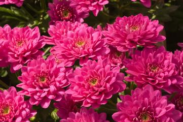 Pink colored Chrysanthemums in a flower nursery