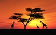 Fototapeten,giraffe,akazie,sonnenuntergang,sonne