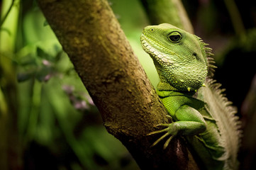 Thailand Water Dragon (Physignathus cocincinus)