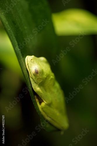 Black eyed Leaf Frog (Agalychnis moreletii)