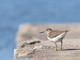 Common Sandpiper, Actitis hypoleuca