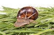 Garden snail (Helix aspersa) Snails source of protein