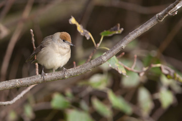 Female Blackcap in its natural environment