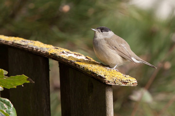 Male Blackcap on a garden fence
