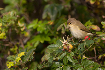 Chiffchaff in a bush