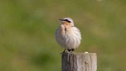 Wheatear on a post