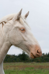 White country horse
