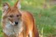 Portrait of a Dhole also known as a Red Dog or an Asian Wild Dog