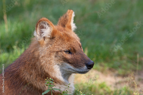 Dhole also known as a red dog or Asian wild dog (Cuon alpinus)